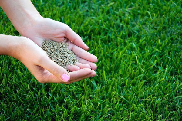 посевной газон