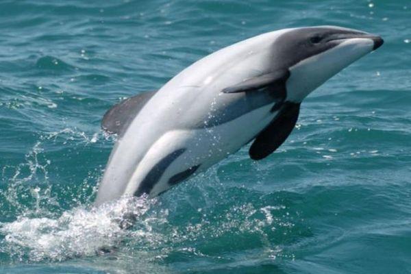 дельфин гектора