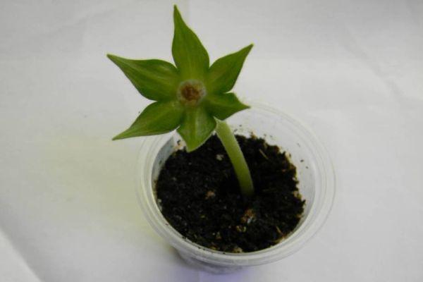 размножение глоксинии цветоносами