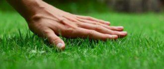 рулонный или посевной газон