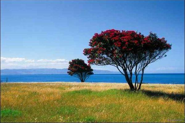 дерево похутукава