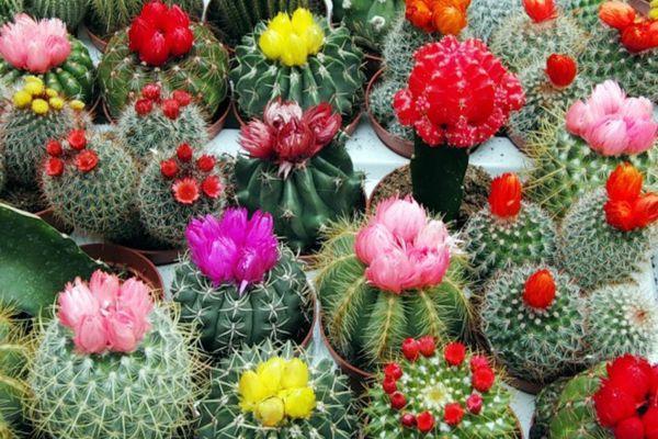 виды кактусов