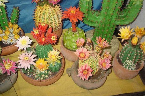 выращивание кактусов дома