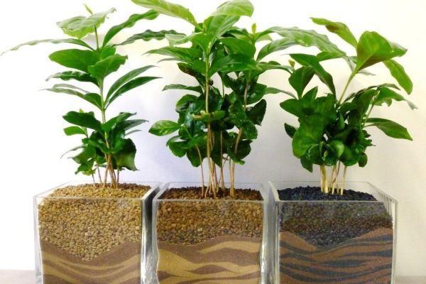 варианты посадки кофейного дерева